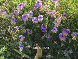 観音崎公園の花の広場のお花