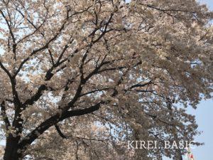 談合坂サービスエリアの桜
