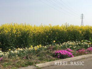 白糸自然公園の菜の花