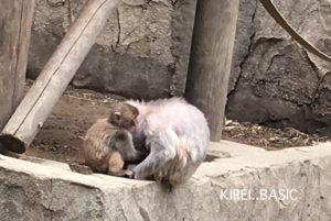 多摩動物公園の猿