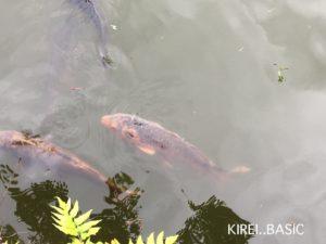 小田原城のお堀にいる鯉
