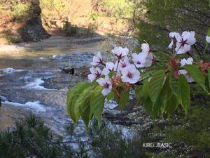 吹割渓谷の桜