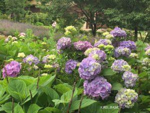 八木崎公園の紫陽花