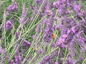 八木崎公園のラベンダーと蜂さん
