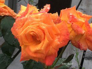 河口湖ミューズ館の薔薇