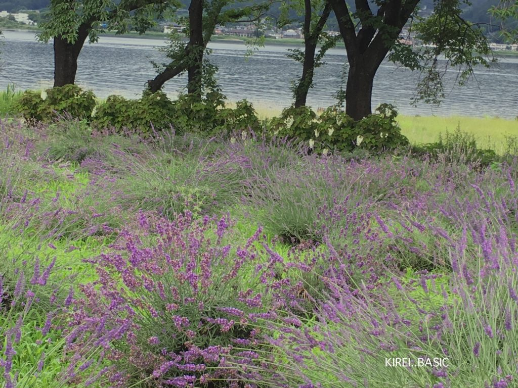 河口湖と八木崎公園のラベンダー