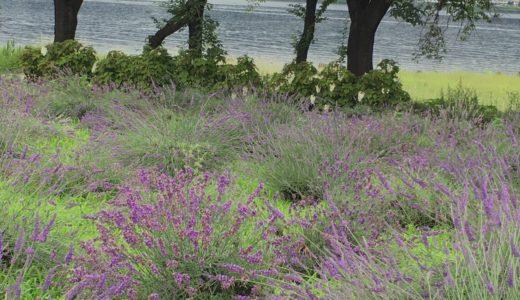 河口湖の八木崎公園で咲く7万株のラベンダーを満喫!河口湖ミューズ館のラベンダータピオカ知ってる?